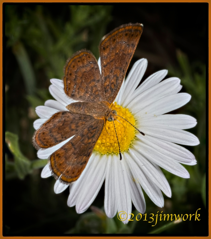 BrownButterfly1