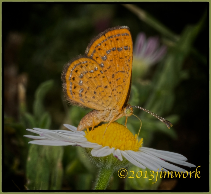 BrownButterfly3