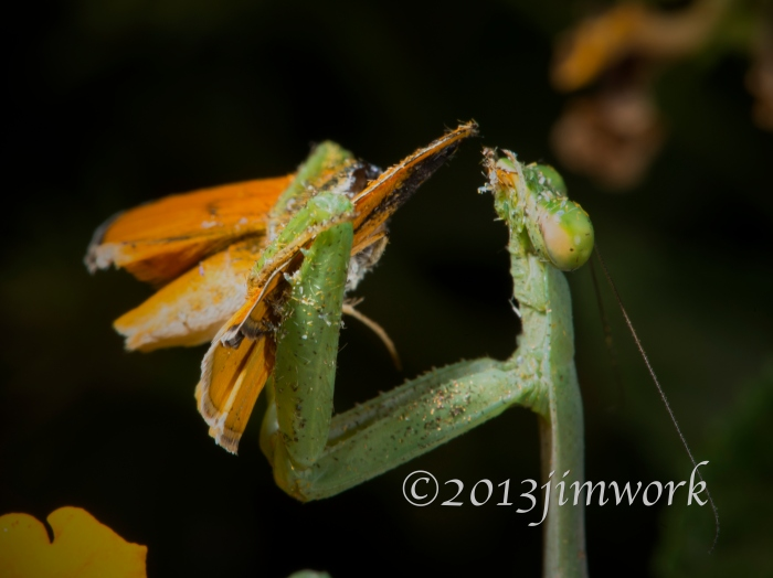 13812 mantis eat_7286A