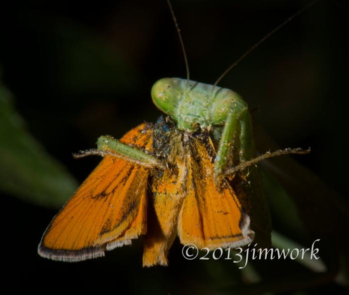 13812 mantis eat_7292A