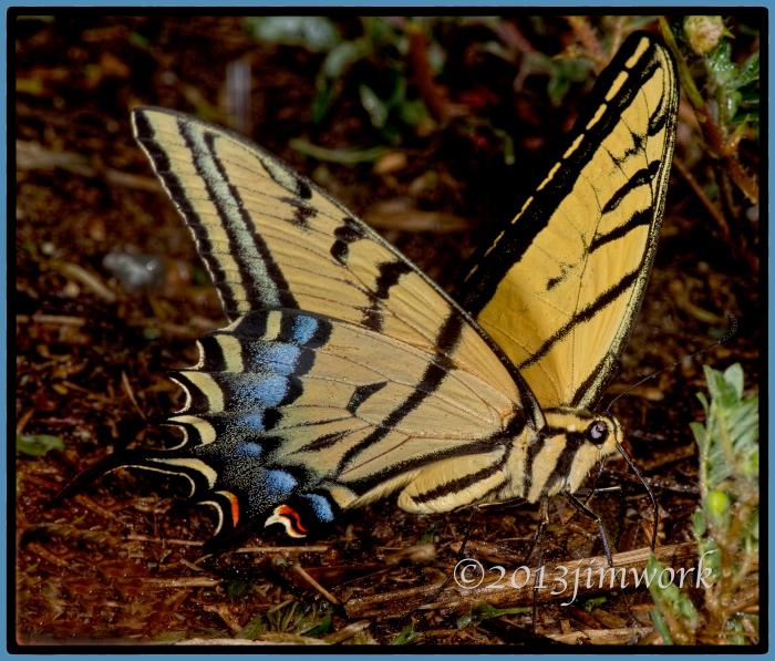 1384swallowtail butter-6871A