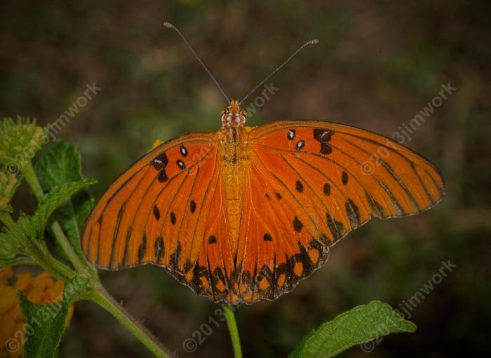 13-09-02 butterfly_8965_v1