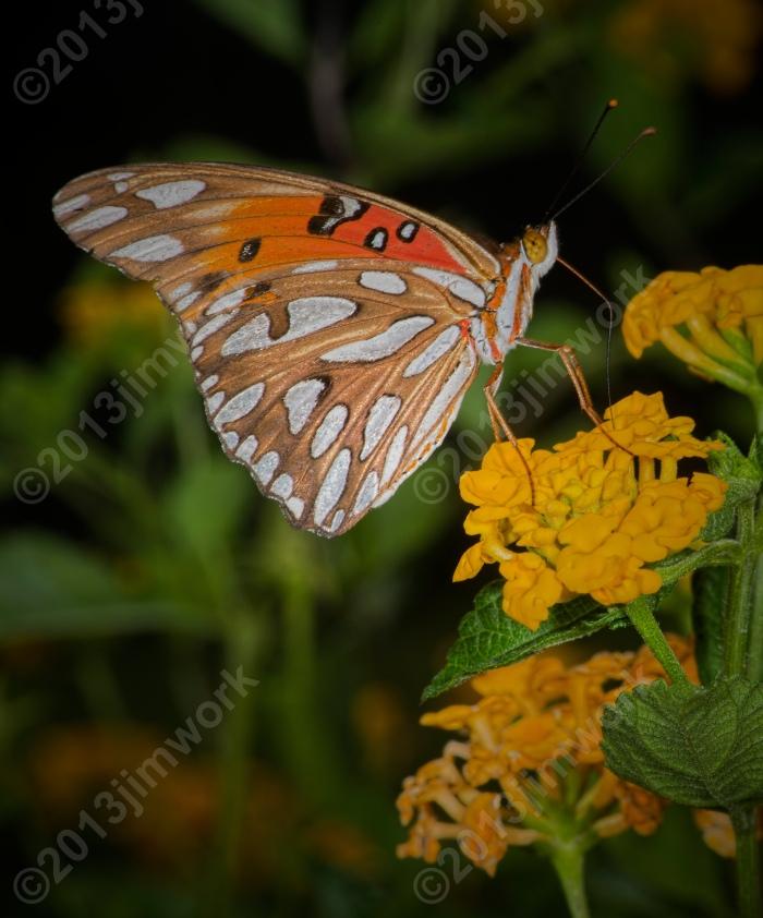 13-09-02 butterfly_8968 copy
