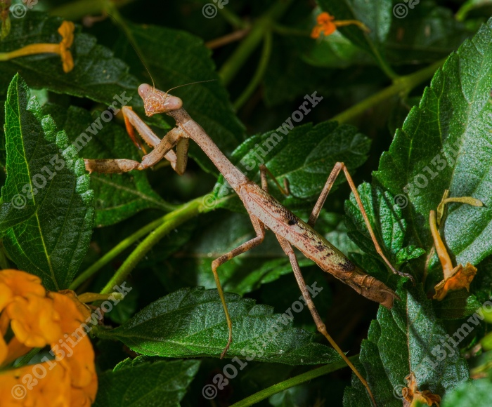 13-09-05 camo mantis_9324 copy
