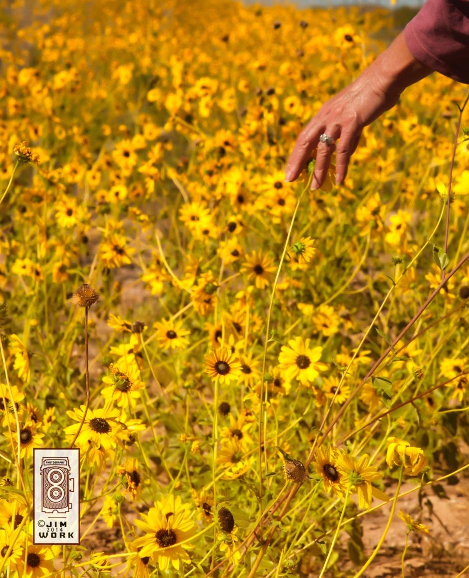 13-10-07 sunflower_7720 copy